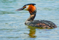 Great Crested Grebe (hutchyp) Tags: park lake bird water country great hampshire lakeside fowl crested grebe eastleigh