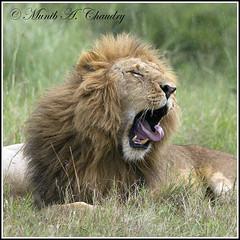 Bored Lion in the rain! (MAC's Wild Pixels) Tags: kenya ngc lion soe masaimara malelion pantheraleo greatphotographers abigfave goldwildlife lionyawning maratriangle naturesgreenpeace allnaturesparadise allofnatureswildlifelevel1 macswildpixels