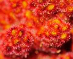 Oursins de Sumac (Ulysse2001) Tags: sumac vinaigrier rhus thphina fruit
