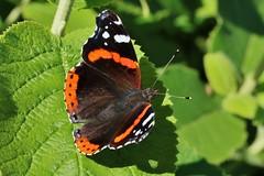Falter (Hugo von Schreck) Tags: admiral vanessaatalanta hugovonschreck schmetterling butterfly falter outdoor macro makro insect insekt canoneos5dsr tamronsp90mmf28divcusdmacro11f017 onlythebestofnature