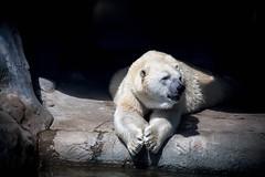 On the porch (toddrappitt) Tags: august vegetarian6 nature polarbear bear bears animals torontozoo zoo ontario toronto t4i rebel canon