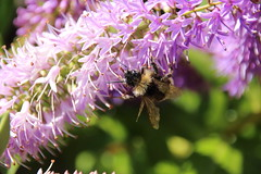 Bee (Tony Howsham) Tags: insect butterfly in my garden canon eos 70d sigma 18250 collecting pollen