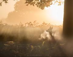 The Lord of Light (alex saberi) Tags: deer reddeer richmondpark richmond london uk england park forest nature wildlife animals trees