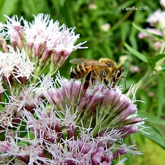 Koninginnekruid - Leverkruid (Cajaflez) Tags: koninginnekruid leverkruid bloem flower insect insekt bij bee ngc coth5 npc ruby5