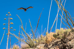 Turkey Vulture Above The Desert Landscape (matthewschonert) Tags: turkey vulture tonto national forest arizona tortilla flats bird birding wildlife nature animal flying soaring ocatillo desert landscape yucca prickly cactus