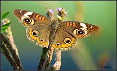 Buckeye Butterfly (Suzanham) Tags: buckeye nature wildlife wings mississippi bug macro simplysuperb