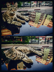 September's distraction (Melissa Maples) Tags: antalya turkey trkiye asia  apple iphone iphone6 cameraphone multipanel diptych animal kitty cat reflection car