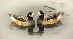 Chilo Wigeon (Nickerzzzzz - Thanks for stopping by :)) Tags: nickudy photograph bird beak duck wildlife nature feathers animal outdoor chilowigeon anassibilatrix