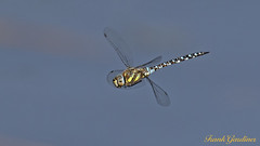 Migrant Hawker (male) (Frank Gardiner- No Awards Please-Comments Welcome) Tags: dragonfliesofthebritishisles hawkers migranthawkermale aeshnamixta