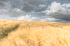 Breeze on the Barley (Tom_Drysdale) Tags: wind storm long breeze 2016 fujifilm summer barley cloud exposure august farm kinross crop rain fuji field