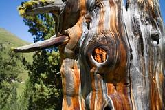 the magic knothole @ God da Tamangur . Engiadina bassa (Toni_V) Tags: m2400869 rangefinder messsucher leicam mp typ240 28mm elmaritm goddatamangur alps alpen hiking wanderung graubnden grisons grischun scharl tschiervscuol arve arvenbaum baum wood dof bokeh tree switzerland schweiz suisse svizzera svizra europe summer sommer toniv 2016 160822 engadin unterengadin struktur holzstruktur maserung