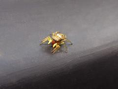 Heliophanus tribulosus (femelle) (Didier Auberget Photographie) Tags: macro arachnida arachnide salticidae salticide saltique araneae heliophanus araneomorphae aranomorphe araigne spider jumpingspider araignesauteuse