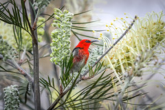 Scarlet honeyeater (jan_clewett) Tags: scarlethoneyeater southeastqueensland honeyeater grevillea spring scarlet red beautiful little bird australia queensland geham toowoomba