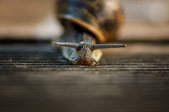 Snailed It  :)) (fehlfarben_bine) Tags: macro snail dof sunlight nikond800 1050mmf28 wood fac