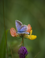 Female Common Blue (PhilDL) Tags: femalecommonblue butterflies britishbutterflies butterfly britishlepidoptera britishbutterflyconservation britain beaconhill uk ukbutterflies ukwildlifetrusts southdowns nature naturereserves nationalnaturereserve