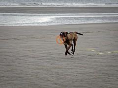 Hovering (Marc Gommans) Tags: dog bitch teef hund hond americanbulldogmix sea water summer zomer holiday olympusomdem1 zuiko40150mmf3545 zuiko outdoor zeeland zeeuwsvlaanderen cadzandbad tzwin dutch thenetherlands marcgommans animal zd mmf3