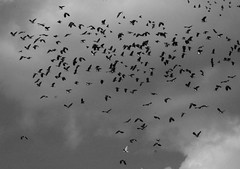 Lapwings (nigelphillips) Tags: birds flock nature summer sky bw