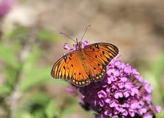 Gulf Fritillary Butterfly (C-O) Tags: sep 11025 arboretum insects gulf fritillary butterfly bokeh nature arcadia ca