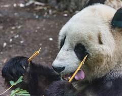 20160313 162019 (ec 92009) Tags: animal bear ca california flowers mammal panda sandiego usa zoo