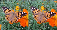Vanessa cardui, stereo cross view (Mushimizu) Tags: vanessacardui butterfly  stereo 3d cross