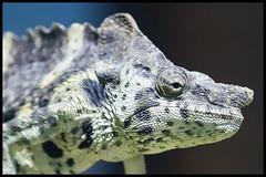 Chameleon (KRIV Photos) Tags: california chameleon losangeles losangeleszoo animal
