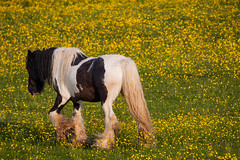 Horse in field of Buttercups (mark196611) Tags: horse shire buttercups field summer retired farm old