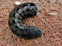 Spodoptera ornithogalli (carlos mancilla) Tags: spodopteraornithogalli insectos polillas moths olympussp570uz orugas caterpillars polillasbúho