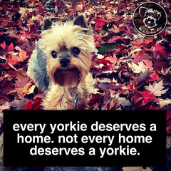 Happily - ours does (itsayorkielife) Tags: yorkiememe yorkie yorkshireterrier quote