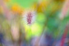 Palette de couleurs (christophe.laigle) Tags: flower fuji colors couleurs macro xpro2 xf60mm fleur ngc npc