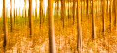 Burned Tears (J. Barrena) Tags: castelln flora xilxes arboles trees bosque wood calor heat fire fuego luz light verano summer troncos trunks