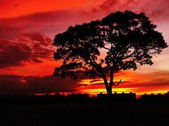 Sunset (telmofilho) Tags: brasilia brasil sunset red telmofilho arvore ceu vermelho sky redsky redsunset tree silhueta