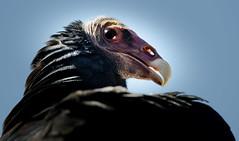 Truthahngeier (Cathartes aura) (Sakerfalke) Tags: sakerfalkefotografie falconcrest truthahngeier cathartesaura geier birds outdoor