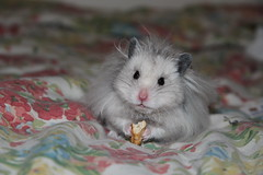 I gots it, and now you can't has it back! [Explore] (Ninithedreamer) Tags: hamster pretzel syrian friendsofzeusphoebe blinkagain bestofblinkwinners