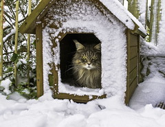 Not impressed! (kidda63) Tags: cats snow cat maine coon youmademyday takenwithlove