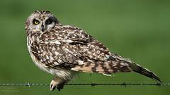 Coruja-do-nabal (Jose Viana) Tags: bird portugal birding ave birdwatching canon100400 shortearedowl asioflammeus joseviana canon7d