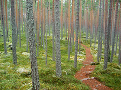 Near Suolikko (dusan.ovi) Tags: autumn nature grass pine forest suomi finland nationalpark swamp 2007 borealforest oldgrowthforest keskisuomi saarijrvi pyhhkki forestresort centralfinland pyhhkkinationalpark pyhhkinkansallispuisto pyhahakki