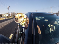 Day 55: Cruisin' for Bitches (Rob Rabon Photography) Tags: 2 dog cup window project out puppy photography head rob mount wifi hero remote hd 365 wink suction puggle gopro rabon