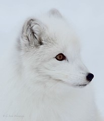 White (Mrscurlyhead) Tags: winter portrait white snow animal norway closeup forest canon profile arctic fox endangered langedrag arcticfox alopexlagopus polarfox whitefox snowfox canoneos60d