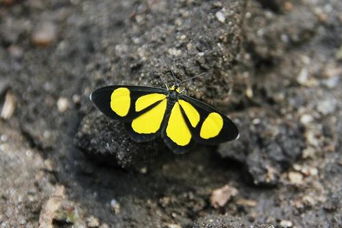 Aiuruoca yellow animals butterflies insects Minas