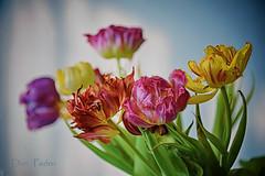 tulpen impressie (Don Pedro de Carrion de los Condes !) Tags: wild spring nikon tulips bunch fading fx bos lente impression gemengd vaas donpedro voorjaar impressie veelkleurig gekleurde oudemeester lenteboeket