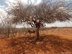 Na Sombra da Imburana (Mozart Souto) Tags: nature outdoor natureza sombra burro jumento seca sombras rvores serto imburana caatinga jegue rvores estiagem imburanadecheiro