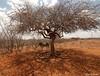 Na Sombra da Imburana (Mozart Souto) Tags: nature outdoor natureza sombra burro jumento seca sombras árvores sertão imburana caatinga jegue àrvores estiagem imburanadecheiro