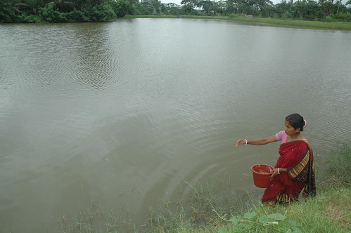 Feeding the fish in pond, Bangladesh. Photo by WorldFish, 2008.
