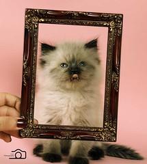 Cat9661 (46) (Cat9661) Tags: animals cat حيوانات مون قطط هاف بسة فيس شيرازي بيكي بساس هملايا