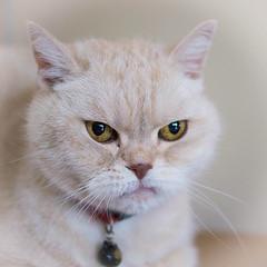 Charlie (Esther Crauwels) Tags: netherlands cat 35mm kat sister sony nederland charlie kater zus 365days britsekorthaar 365dagen