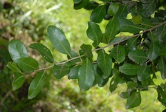 Siphonodon australis (dustaway) Tags: plants nature leaves australia nsw twig celastraceae northernrivers australiantrees arfp australianrainforestplants ivorywood nswrfp qrfp siphonodon siphonodonaustralis subtropicalarf dryarf vinethicketarf bigscrubremnants