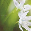 freshness (silviaON) Tags: flower t march textured gloryofthesnow chionodoxa imagepoetry 2013 sternhyazinthe schneestolz memoriesbook imagesforthelittleprince visionqualitygroup isabellelafranceaction isabelllafrancetexture
