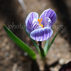 a forerunner of spring in my yard (photoholic image) Tags: light sunlight plant flower nature spring flora bokeh crocus petal earlyspring forerunner voigtalandernokton25mmf095