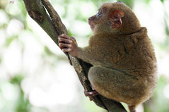 Bohol Tarsier (Pugtastic!!) Tags: nature animal monkey weird tour nocturnal wildlife small philippines exotic jungle planet bohol species endangered creature primate sanctuary visayas smallest tarsier primates philippine tagbilaran tarsiers convservatory