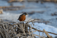 Robin_44637.jpg (Mully410 * Images) Tags: winter snow cold bird ice robin birds birding cattails birdwatching americanrobin birder sooc tcaap ahats burdr ardenhillsarmytrainingsite